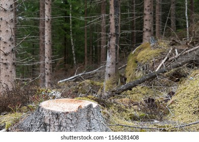 Newly cut spruce tree stump in an old coniferous forest