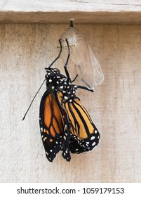 Newly emerged black, orange, and white monarch butterfly clinging to its clear chrysalis against a wood fence.