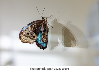 A newly emerged Blue Morpho Butterfly clings to a window.