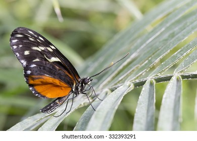 Newly emerged Butterfly sitting on a large leaf