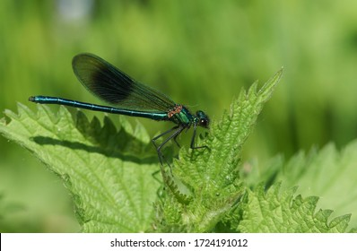 A newly emerged male Banded Demoiselle Dragonfly, Calopteryx splendens, perching on a Stinging nettle leaf in Spring.