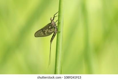 A newly emerged Mayfly ( Ephemera vulgata) perching on a grass stem.