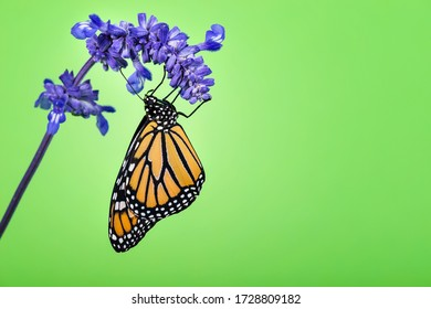 Newly emerged Monarch butterfly (Danaus plexippus) on blue salvia flower. Green background with copy space.