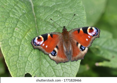 A newly emerged Peacock Butterfly, Aglais io, perching on a Comfrey leaf in a meadow.