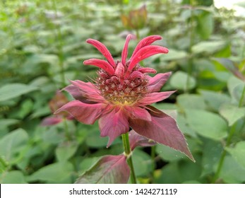 A newly emerging colorful Beebalm (Monarda) flower outside on a bright sunny summer day among all the other foliage and ground cover