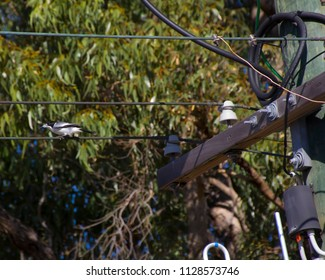 A  newly feathered half grown  black and white  juvenile Australian magpie cracticus tibicen   is perching on a  powerline  near a eucalypt tree in early summer.