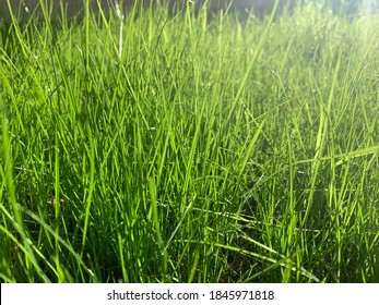 Newly growing fescue grass after seeding and aeration