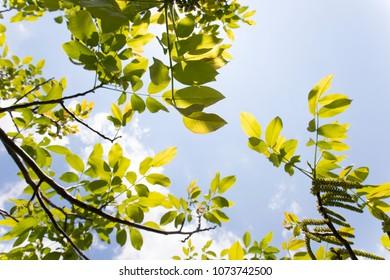 Newly grown leaves on a walnut tree