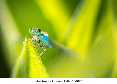 Newly hatched azure damselfly hides in its natural environment