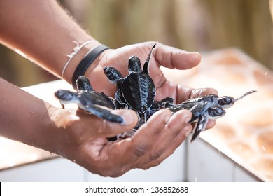 Newly hatched babies turtle in humans hands at Sea Turtles Conservation Research Project in Bentota, Sri Lanka