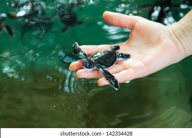 Newly hatched baby turtle in humans hands at Sea Turtles Conservation Research Project in Bentota, Sri Lanka