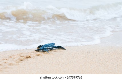 Newly hatched baby turtles crawl to the surf. Shallow depth of field