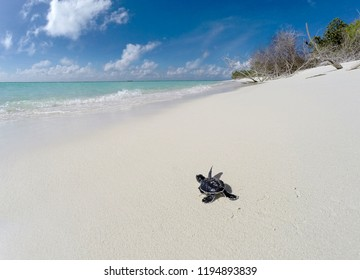 Newly hatched baby turtles walking towards the ocean in tropical beach.