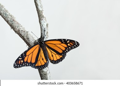 A newly hatched butterfly with his wings open is climbing up a split branch. Copy space, white background, horizontal format.