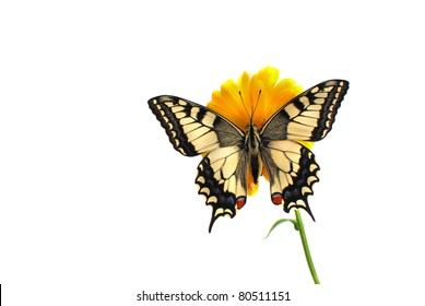 newly hatched swallowtail butterfly clinging to an orange marigold flower
