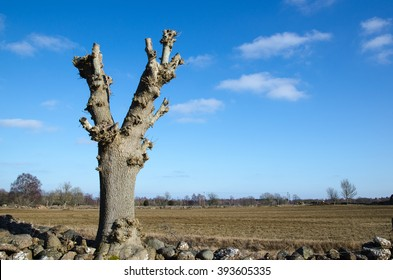 Newly lopped tree by a field at spring