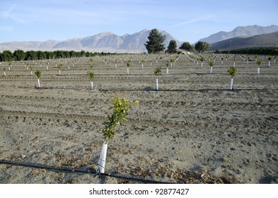 A newly planted almond orchard on a California farm
