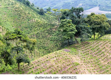 Newly planted coffee trees dot the hillside of a coffee plantation near Chinchina in the Colombian state of Caldas.