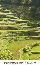Newly planted rice seedlings in a rural area in the Philippines
