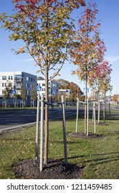Newly planted rowan trees at roadside on sunny autumn day, new residential buildings on background. Photographed in Tallinn, Estonia, Europe.