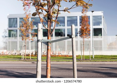 Newly planted tree at roadside at autumn, with three stakes to support it, modern office-building at background.
