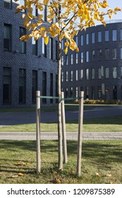 Newly planted tree in urban surroundings on sunny autumn day, modern office-buildings at background. Photographed in Tallinn, Estonia, Europe.