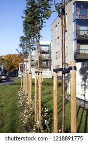Newly planted trees on sunny autumn day, with three stakes for support, new residential buildings at background. Photographed in Tallinn, Estonia.