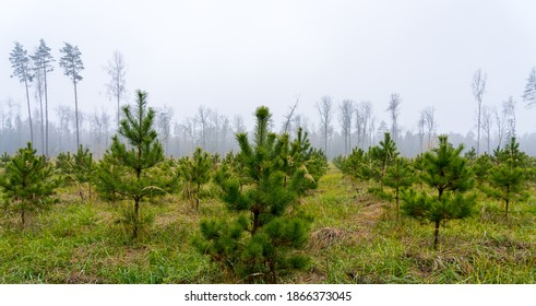 Newly planted young pine forest, reforestation concept