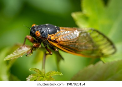 Newly transformed, a 17-year Brood X cicada clings to a green leaf in the woods.