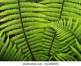 Newly unfurled fern leaves close up