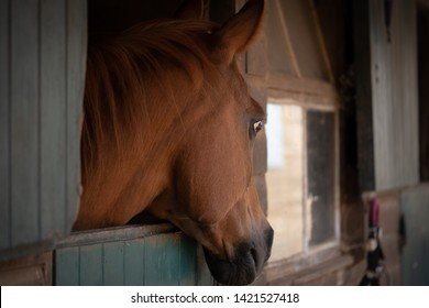 Newmarket, Cambridgeshire, UK - Circa June 2019: Subdued image of a Arab Stallion horse seen looking outside his stable towards an out of view groom. The horse is one of a private collection of horses