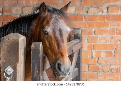 Newmarket, Cambridgeshire, UK - Circa June 2019: Retired racehorse seen within his brick built stable block, looking at the owner. A wooden gate prevents him from roaming free during feeding.