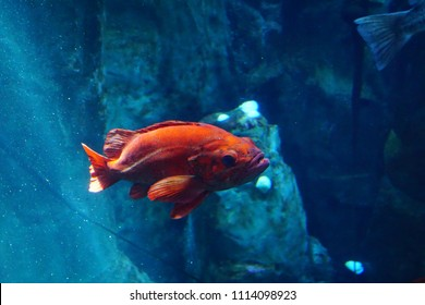 NEWPORT, OREGON - MAY 22, 2018 - Rockfish swimming in huge tank in  Newport, Oregon