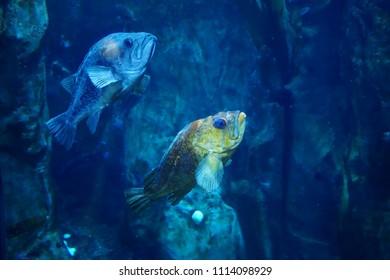 NEWPORT, OREGON - MAY 22, 2018 - Rockfish swimming in huge tank in  Newport, Oregon