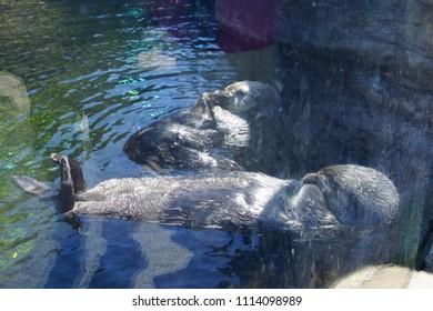 NEWPORT, OREGON - MAY 22, 2018 - Floating sea otter grooming himself,  Newport, Oregon