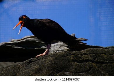 NEWPORT, OREGON - MAY 22, 2018 - Orange beaked Black Oystercatcher ( Haematopus bachmani  ) in  Newport, Oregon