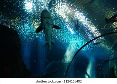 NEWPORT, OREGON - MAY 22, 2018 - Large sturgeon swimming in huge tank in  Newport, Oregon