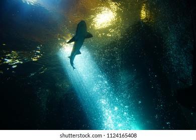 NEWPORT, OREGON - MAY 22, 2018 - Leopard shark swimming in huge tank in  Newport, Oregon