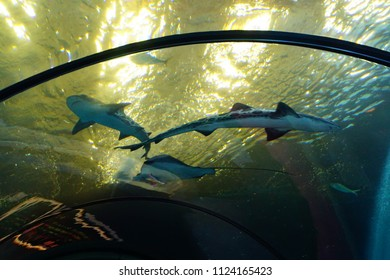NEWPORT, OREGON - MAY 22, 2018 - Leopard shark swimming in huge tank in  Newport, Oregon