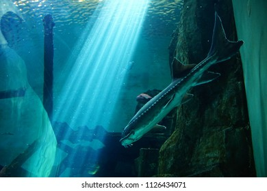 NEWPORT, OREGON - MAY 22, 2018 - Large sturgeon swimming in huge tank in  Newport, Oregon