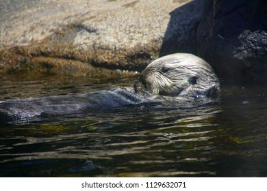 NEWPORT, OREGON - MAY 22, 2018 - Feeding time for the sea otters in  Newport, Oregon