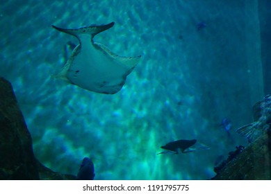 NEWPORT, OREGON - MAY 22, 2018 - Large halibut swimming in huge tank in  Newport, Oregon