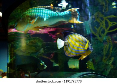 NEWPORT, OREGON - MAY 22, 2018 - Underwater view of bright colored fish, Newport, Oregon