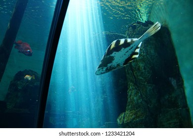 NEWPORT, OREGON - MAY 22, 2018 - Spiny flounder swimming in huge tank in  Newport, Oregon
