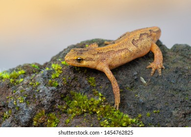 a newt from europe, Germany