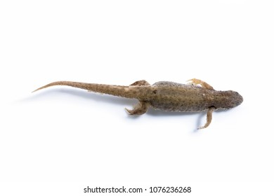 A newt floating in clear water
