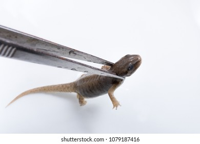 A newt is held by tweezers as part of a biology lesson