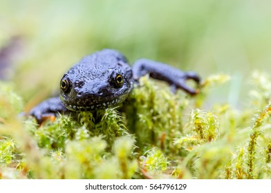 A newt is running through green grass and moss