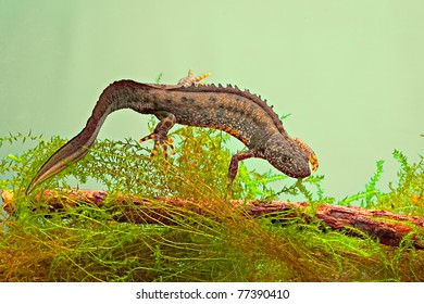 newt swimming under water aquatic animal amphibian of small freshwater ponds endangered species and protected by nature conservation great crested newt or Triturus cristatus