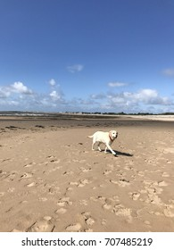Newton Beach, Porthcawl, Wales-August 2017:  Dog at play on the beach at low tide